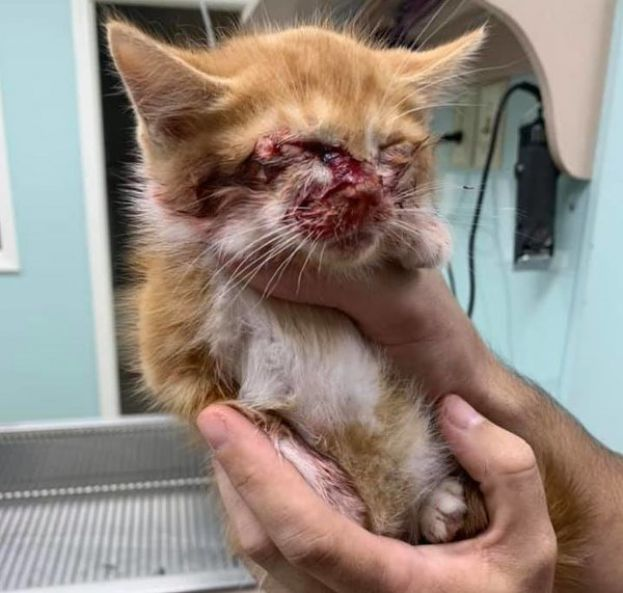 This five-week-old kitten, since dubbed Simba, is recovering after being shot in the face with a flare over the weekend. The alleged offender has been arrested.