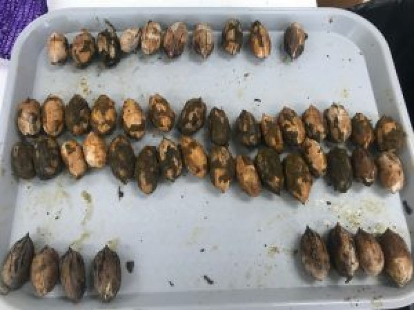 2019 pecan harvest issues