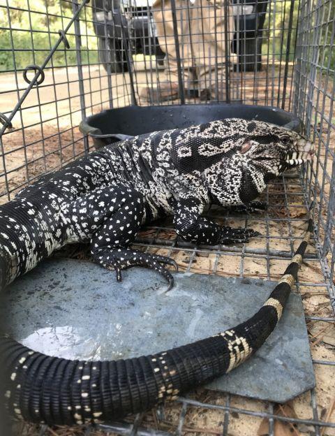 Public help needed to control invasive tegu lizards in southeast Georgia