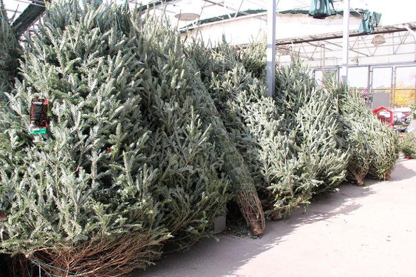 Christmas tree buyers should make sure to choose a fresh tree that will last throughout the Christmas season. According to Lucy Ray, Morgan County Extension coordinator, tree freshness can be determined by either running a hand over the needles or shaking the tree. Photo courtesy CAES News